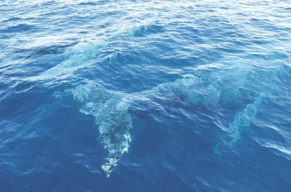 """座头鲸是动物界远迁最原的生物,生性调皮好奇,不时会靠近船只""""赏人""""一番。"""