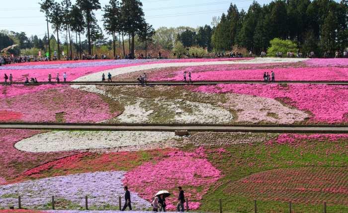 北海道芝樱