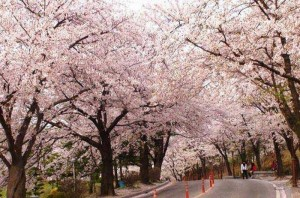 济州岛,西归浦的樱花