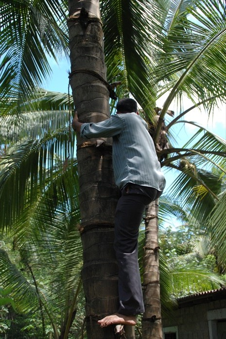 导游示范爬椰树。
