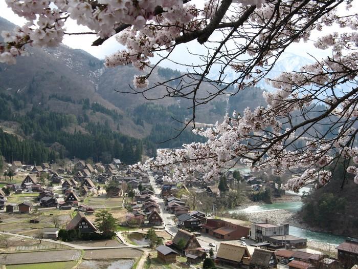 樱花树下的合掌村,像极诗画般的景色。