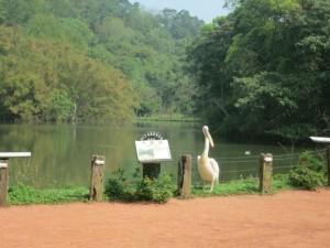 大塘鹅(鹈鹕)驻守在天鹅湖畔。