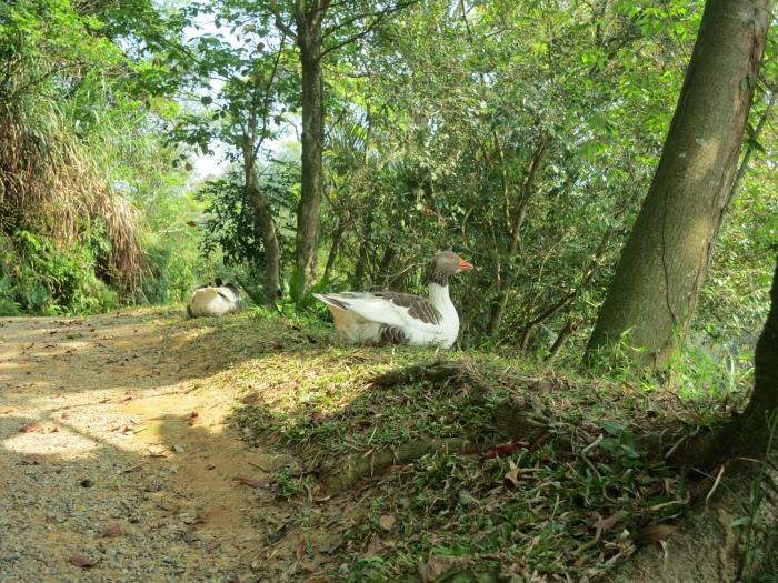天鹅湖区,如同雕像般的雁鸭在湖畔休息。