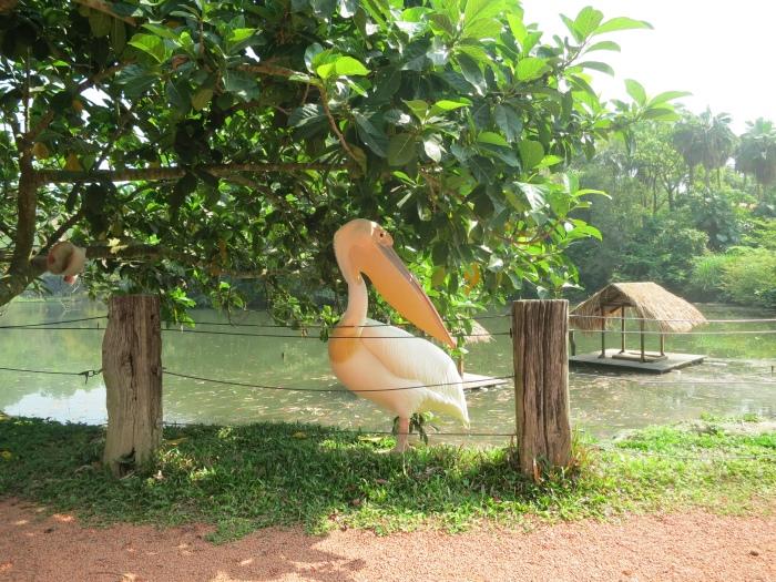 真心觉得塘鹅很可爱!超想摸它的但怕被咬。