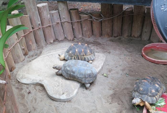 陆龟饲养区,下为红腿陆龟,上为来自马达加斯加到的辐射龟。