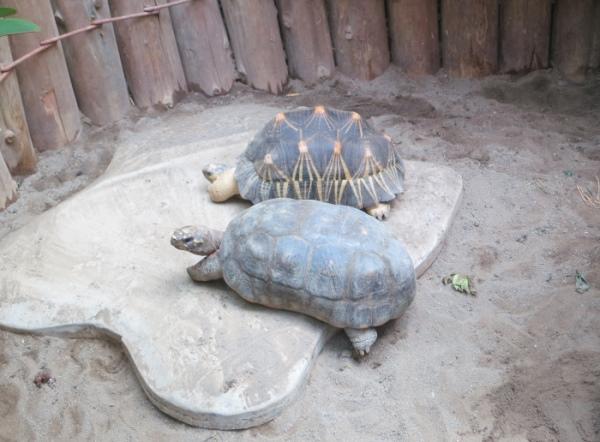 上为辐射龟,下为红腿象龟。