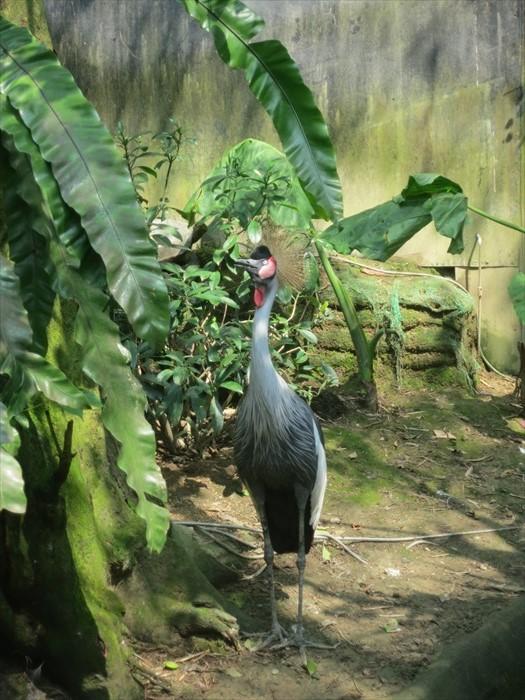 冠鹤在非洲土人心中地位崇高,让其因而获得更多的保护。