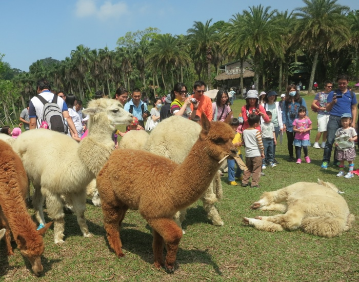 非常受欢迎的明星动物——草泥马!