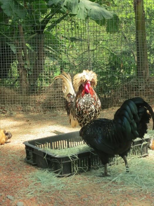 """造型超搞笑的富贵鸡,是区内的""""凶鸡公""""。"""