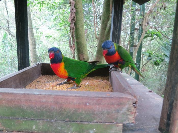 来自澳洲的彩虹吸蜜鹦鹉颜色艳丽之极。