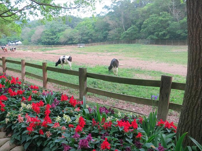 鲜花伴乳牛。