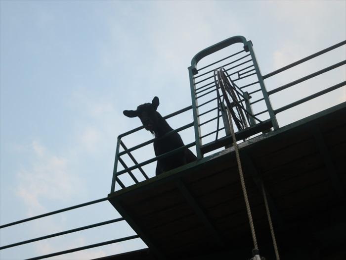 """为了满足黑山羊爱攀登的天性,牧场特设一道攀登桥让黑山羊高攀。图中的小黑特地攀登高处,还向我们""""咩咩""""讨吃。"""