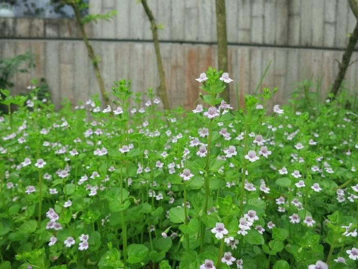 墙边的草花也并非野草,而是一种薄荷。