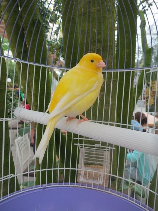 想要听鸟鸣?给你外型和声线都一流的金丝雀之歌!