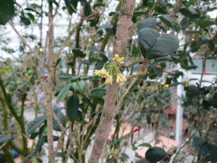 四季桂花,花朵小小的,香气却非常浓烈。