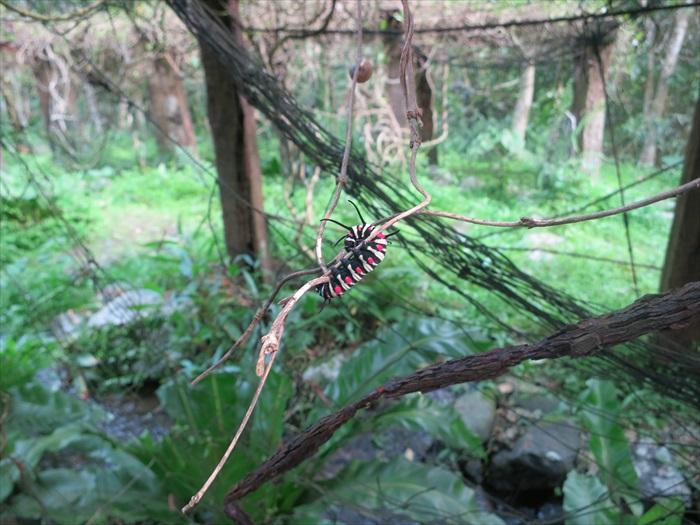 为了为院内引入更多蝴蝶,园内也特辟一区来种植蝴蝶幼虫喜欢的植物。