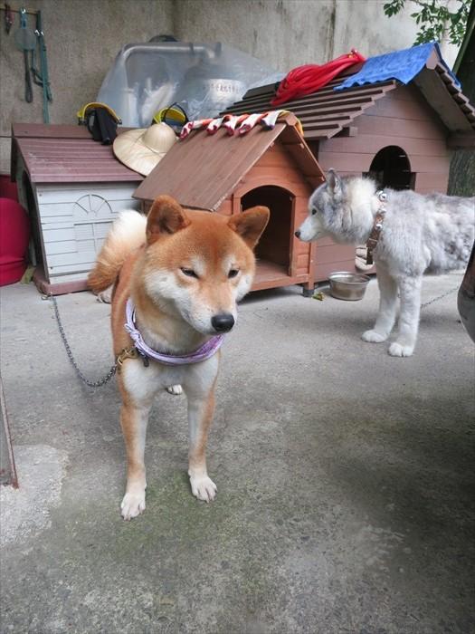 离开前,看到梦中情狗——柴犬!呼拢拥抱一番才不舍离开。