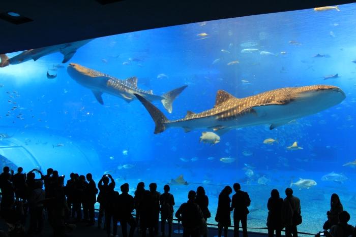 看见巨大的鲸鲨从眼前游过,心里会感叹人类的渺小。