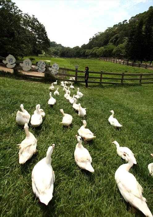 鸭子散步!
