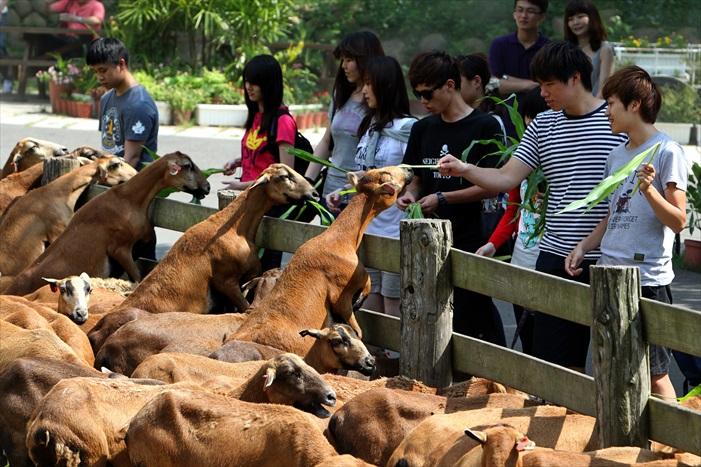 与可爱的羊群做亲密接触。