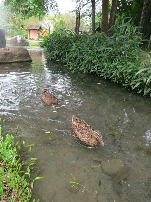 鸭子畅泳的生态沟渠,孕育着好些高屏溪原生鱼类、蛙类,以及水生植物。