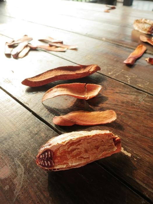 桃花心木种子的内外构造。