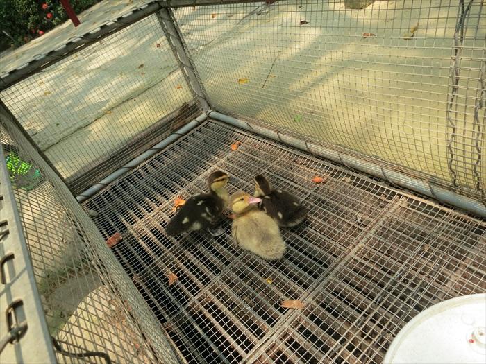 让游客观看的小番鸭,毛茸茸的非常可爱。