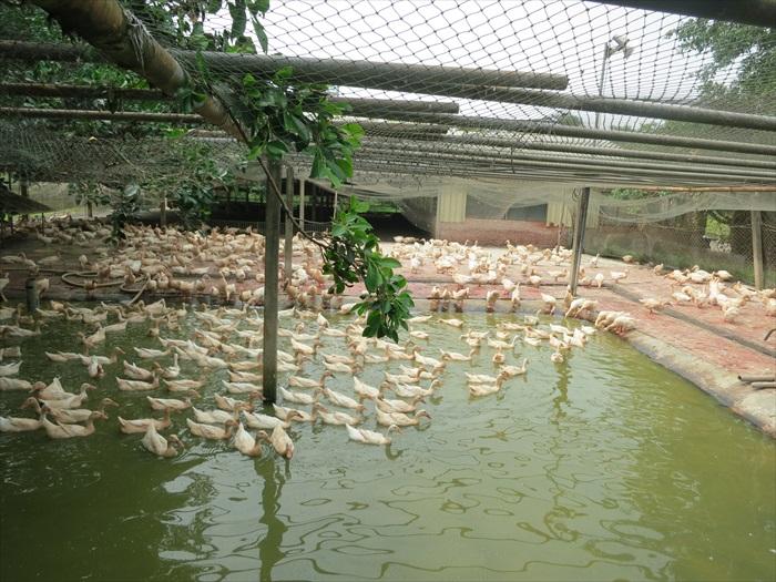 苏场长说,养鸭子,水质和空间非常重要!