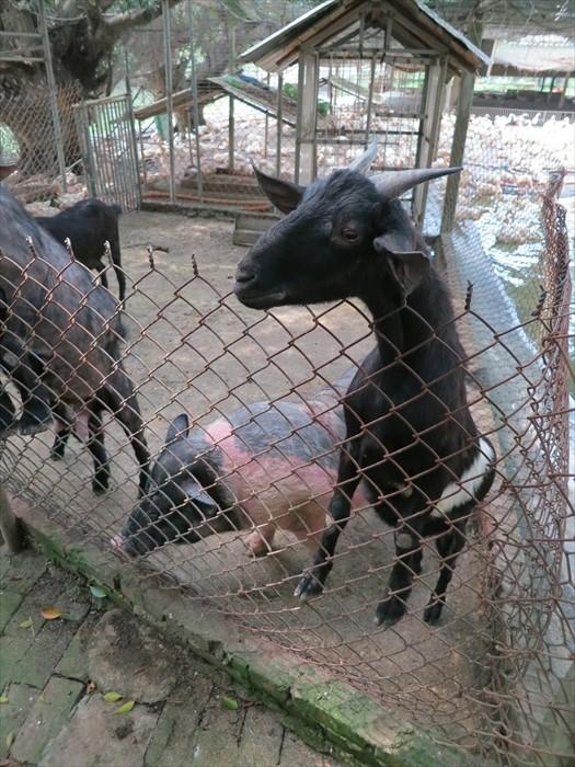 这里也养有黑山羊和猪猪。