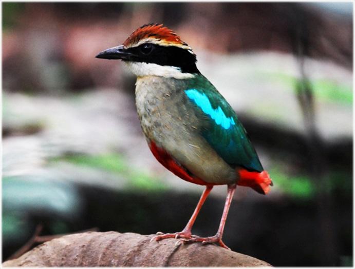 农场中孕育着多种动植物,图为八色鸟。