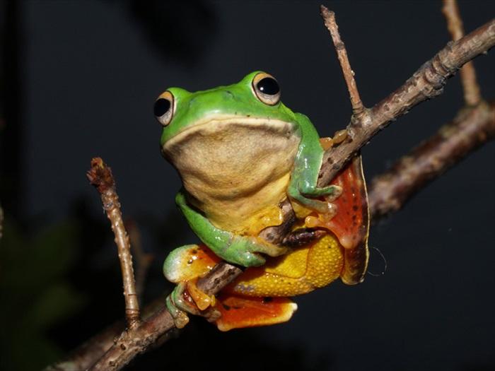 模样可爱的莫氏树蛙。