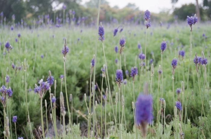 一大片的紫色薰衣草田为园区增添浪漫气氛。