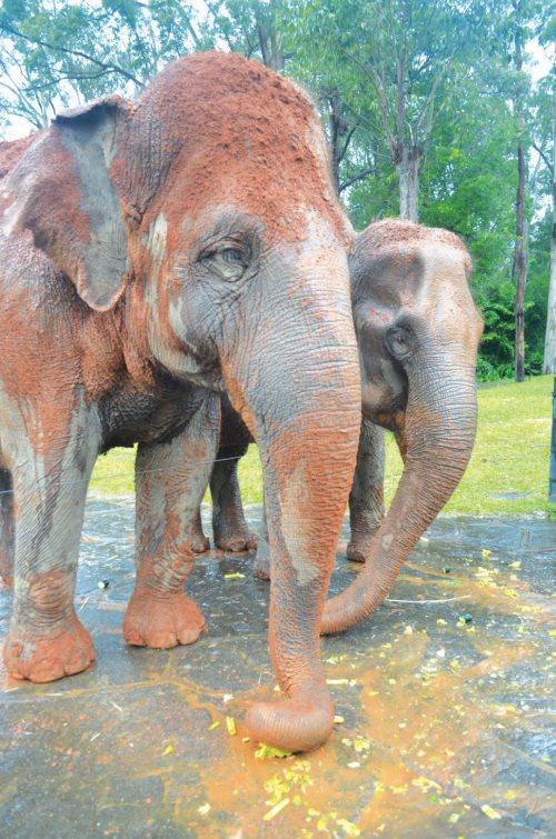 动物园也设有亚洲象的喂食时间,可亲自喂食玩得一身泥的大象。
