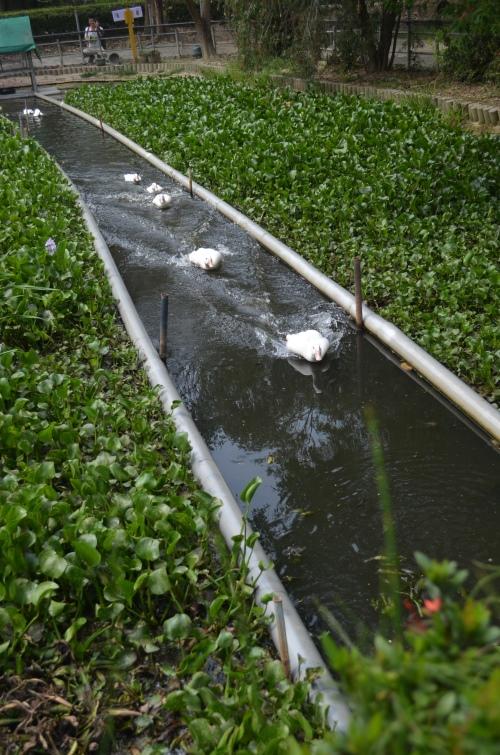 """台南鸭庄划分了一区做""""鸭游泳比赛"""",鸭子们冲锋陷阵的英姿怎能不让它在镜头下展现?"""