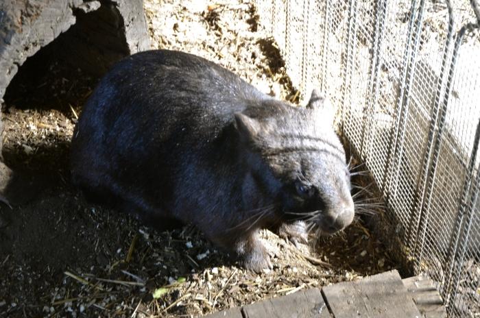 袋熊 -一个以植物为食的穴食者,体型就像小型的短腿熊,是澳大利亚南部特有的有袋动物。