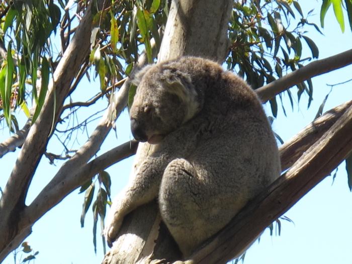 树熊(考拉)- 一个对生活不慌不忙的草食动物。带着一身厚重的皮毛,行动缓慢每天也只出来活动2小时左右,若你看见它出来走动,说明你很幸运。