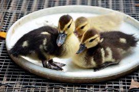 刚出生全身毛茸茸小番鸭超萌的。