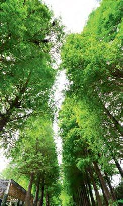 园里近百棵的落羽松会跟着四季变幻色彩,春夏秋冬到来都会看见不同的风景。