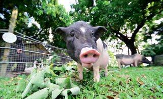 超级可爱的迷你猪是农场里宠物,担任公关角色,负责陪住客们玩乐拍照,但没有食物可能会罢工。