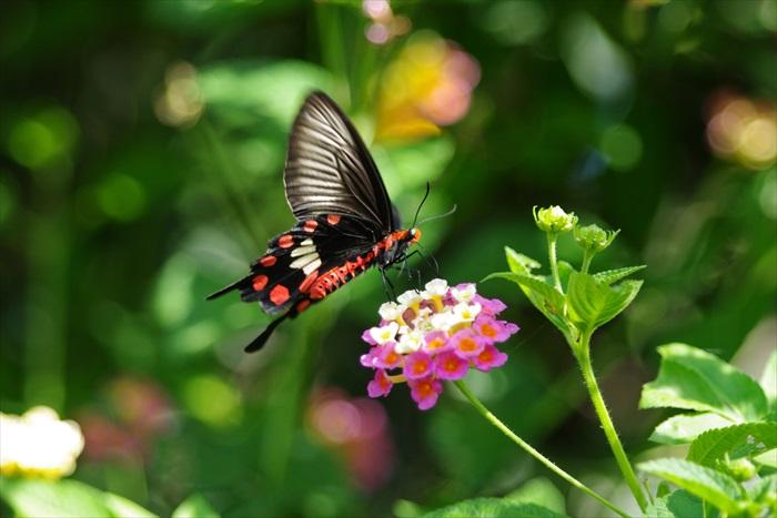薰之园可观赏各品种蝴蝶,其中一种红纹凤蝶。