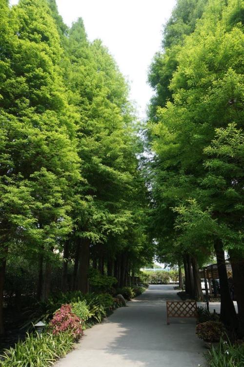 在落羽松下漫步,享受大自然芬多精的洗礼,已是一种奢华的身心灵享受~