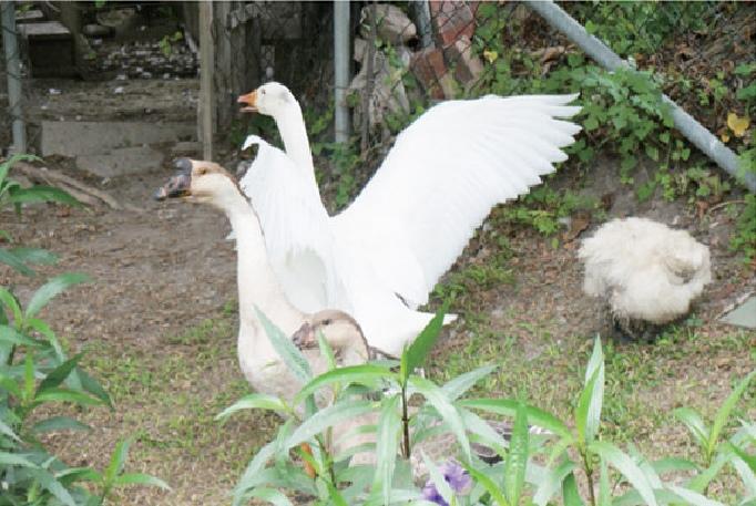 园区里帮忙招待及娱乐游客的几只鹅。