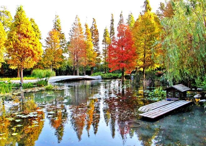 秋天的菁芳园,落羽松都转换成了耀眼的黄红色,好美~(资料照片)