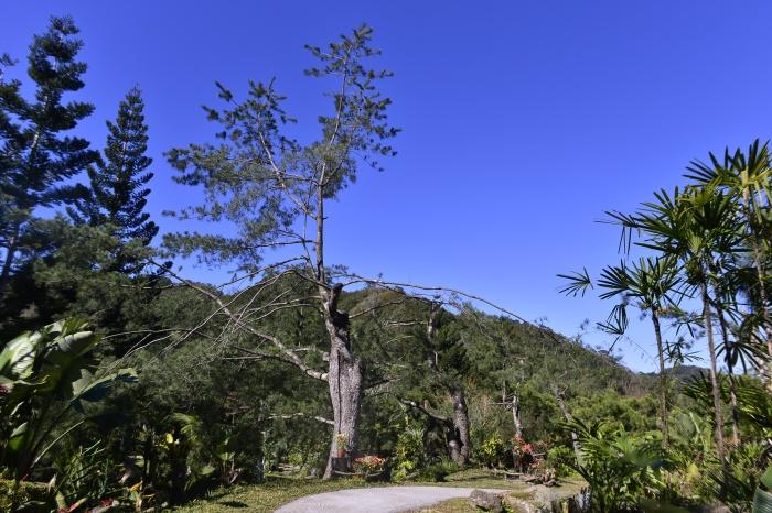园区还种植了这种不同的花草树木,像这颗就是五叶松树林。这天主人泡了五叶松茶,真的是好喝,尤其拍摄辛苦下的畅饮,更为甜蜜。