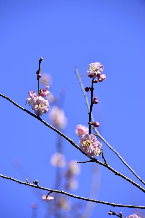 今天还算幸运,樱花小小绽放了些,粉梅一棵棵开了满树呢!