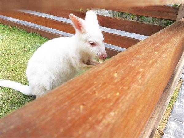可爱的白袋鼠,它眼睛是红色的哦!