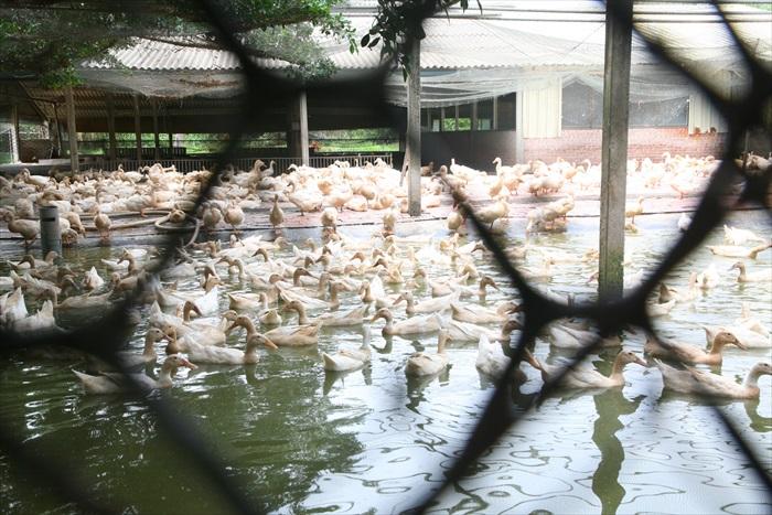 数以百计的鸭子,场面可谓壮观。