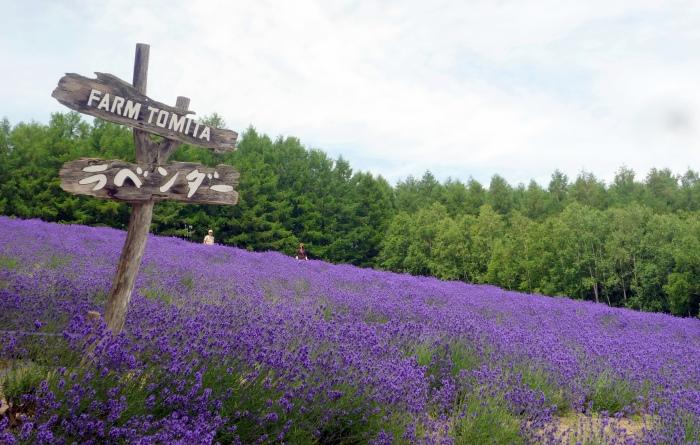 富田农场因为美丽的花海带来了响亮的名气。 (Photo by Forester Ong)