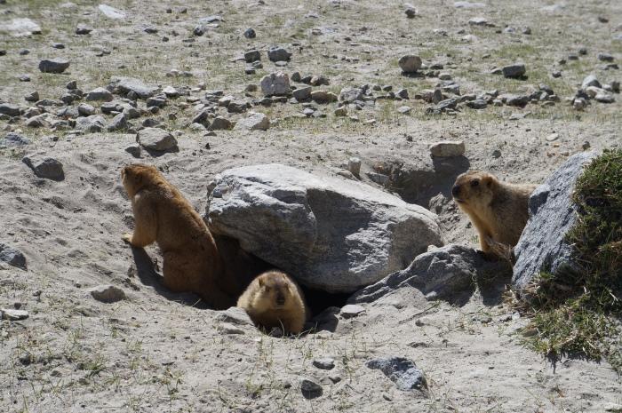 旅途上的动物  印度拉达克●土拨鼠