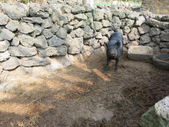 旅途上的动物 韩国●黑猪